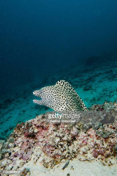 honeycomb moray eel - christine wehrmeier stock pictures, royalty-free photos & images