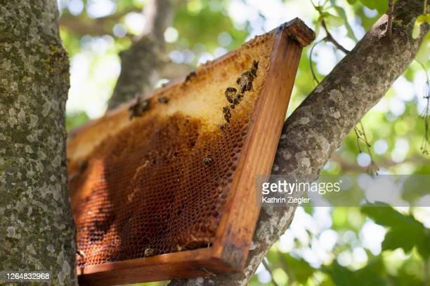 honeycomb placed in a tree, bees working on it - tierbauten stock-fotos und bilder