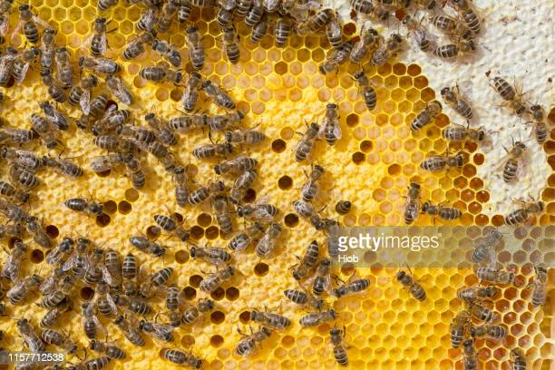 honeycomb with brood and honey - arthropod stock pictures, royalty-free photos & images