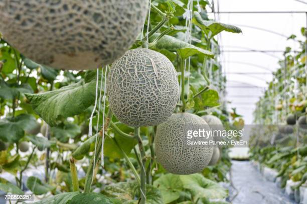 Honeydew Melons Hanging In Greenhouse