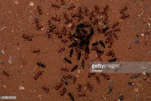 Honeypot ants Melophorus bagoti alates emerging from nest queen and males protected by workers This species one of two in Australia stores half as...