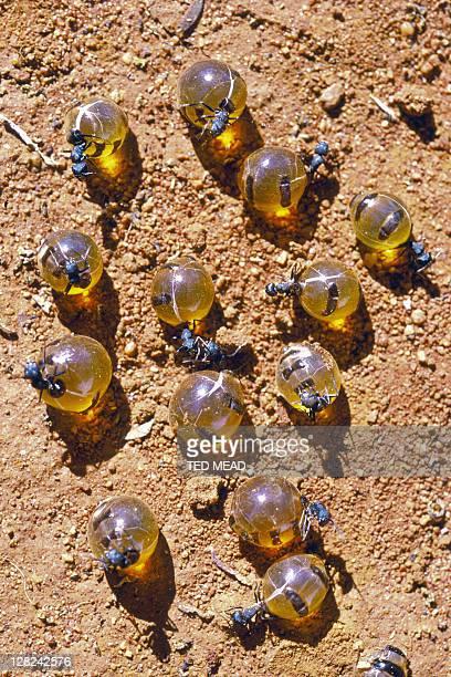 honeypot ants on ground