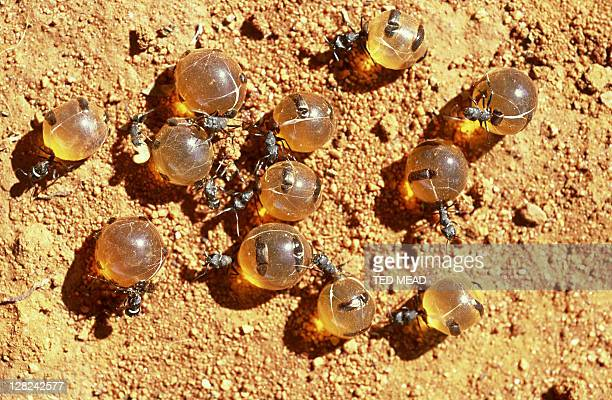 honeypot ants on ground