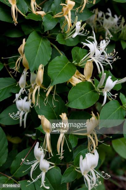 honeysuckle days - honeysuckle stock pictures, royalty-free photos & images