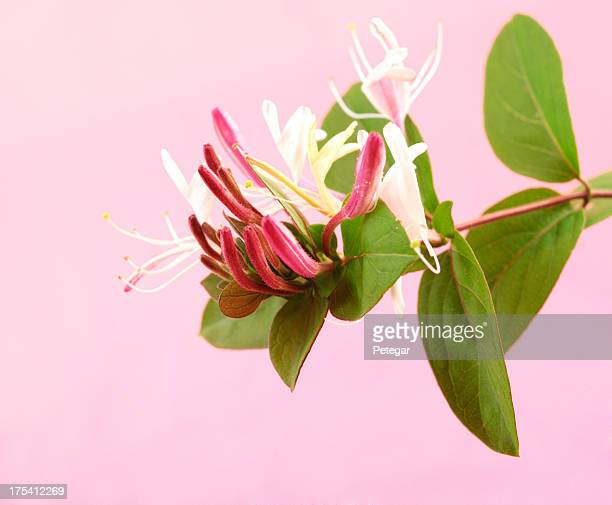 honeysuckle flowers - honeysuckle stock pictures, royalty-free photos & images