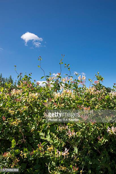 Honeysuckle in a roadside hedge on a sunny day