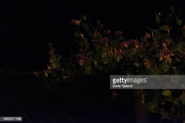 honeysuckle in bloom in the dark - dorte fjalland fotografías e imágenes de stock