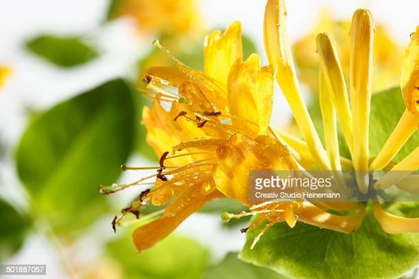 Honeysuckle -Lonicera-, flowers