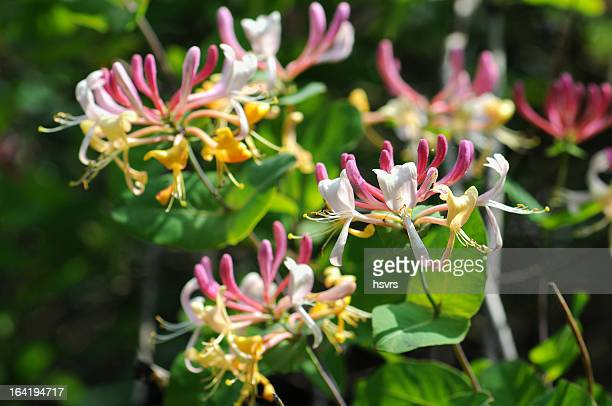 honeysuckle (temperate flower) - honeysuckle stock pictures, royalty-free photos & images