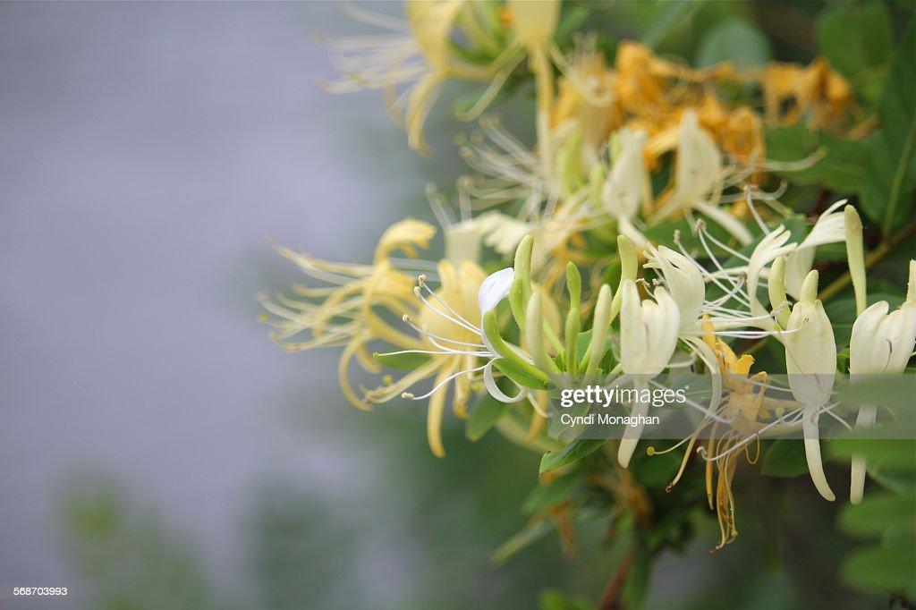 Honeysuckle : Stock Photo