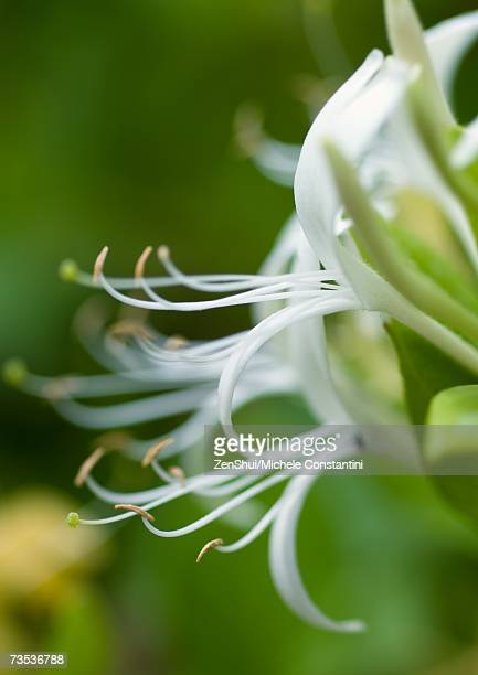 honeysuckle - honeysuckle stock pictures, royalty-free photos & images