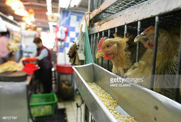 A wet market in Hong Kong where live chickens are slaughtered and prepared for consumption 02 February 2006 Three people from a village near the...