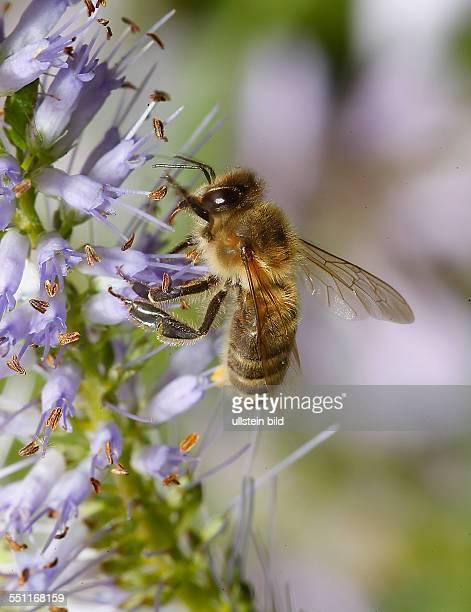 // Honigbiene auch Europäische Honigbiene Biene Nektar Blüte Blüten Nektar