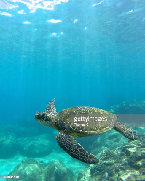 honu - green turtle stock pictures, royalty-free photos & images