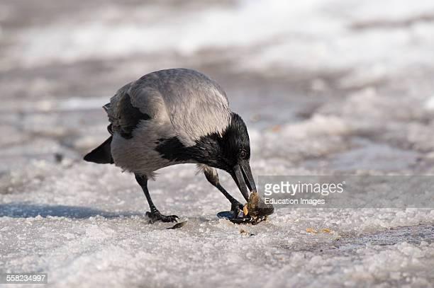 Hooded Crow Corvus corone cornix Elsinore Denmark