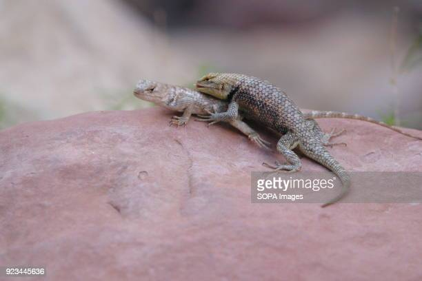 Hooded Lizards on the rocks on a creek in the Grand Canyon Commercial and Private operators can traverse the Colorado River through the Grand Canyon...