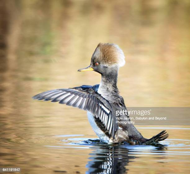 Hooded Merganser Hen with Wings Outstretched (Lophodytes cucullatus)