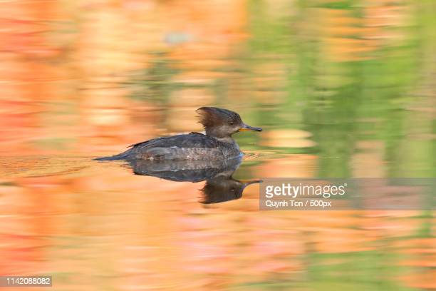 hooded merganser - caddo lake stock pictures, royalty-free photos & images