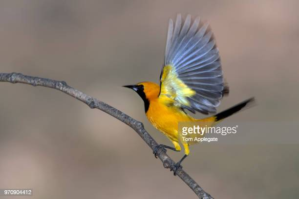 hooded oriole - songbird stock pictures, royalty-free photos & images