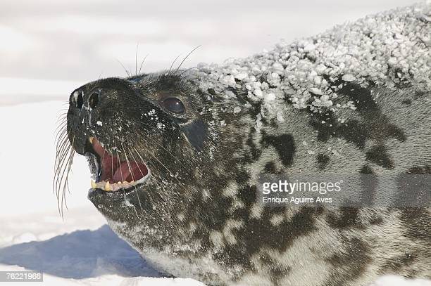 Hooded Seal, Cystophora cristata, close up of female, Gulf of St Lawrence, Canada