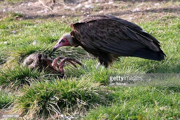 hooded vulture feast - animal rib cage stock photos and pictures