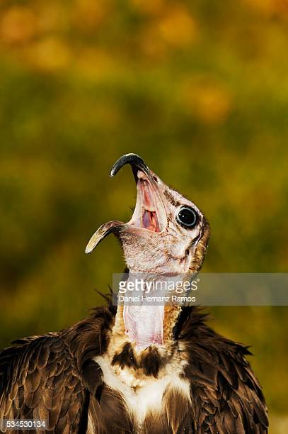 hooded vulture. necrosyrtes monachus - call of the wild stock pictures, royalty-free photos & images