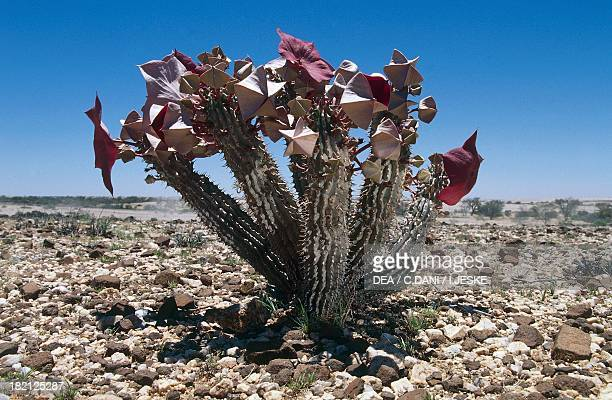 25 Hoodia Gordonii Photos And Premium High Res Pictures Getty Images