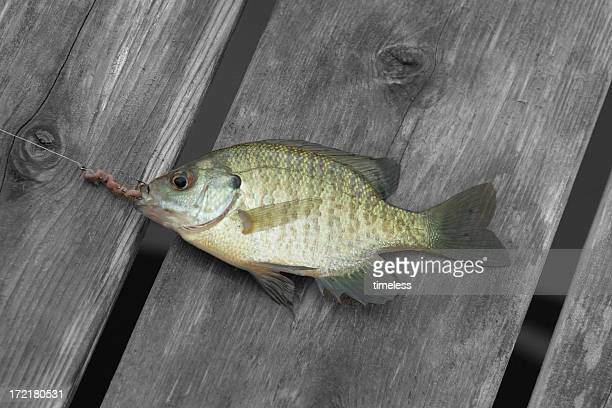 hooked fish on dock - freshwater sunfish stock photos and pictures