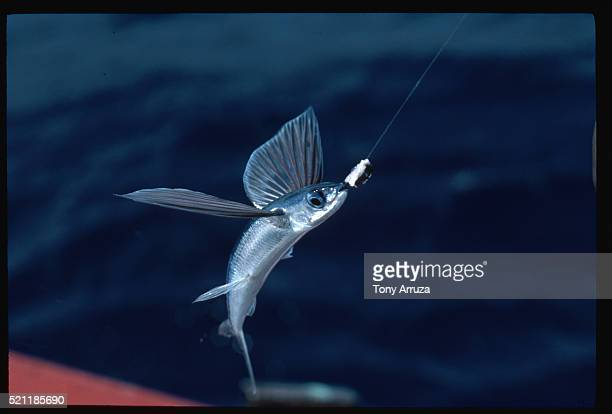Hooked Flying Fish, Barbados