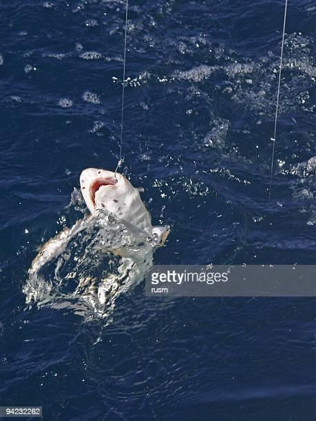 Hooked shark