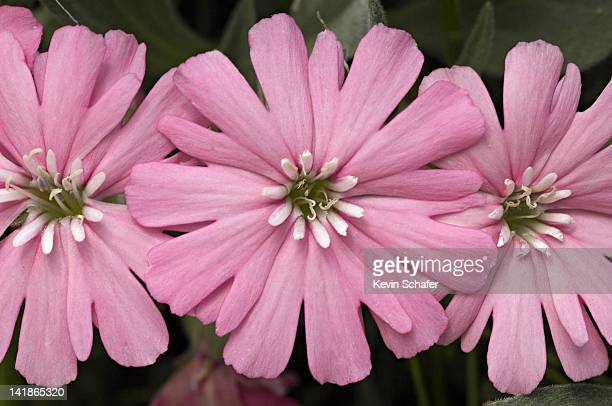 hookers indian pink, silene hookerii. wild. siskiyou mountains, southern oregon. - siskiyou stock pictures, royalty-free photos & images