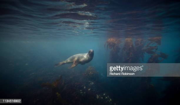 hookers sea lion swimming underwater - oceano antartico foto e immagini stock