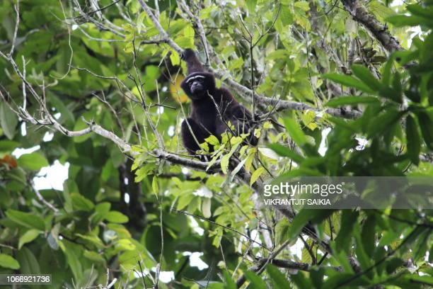 Hoollongapar Gibbon