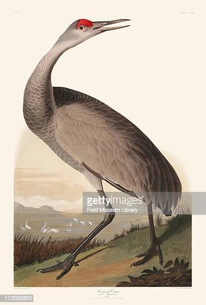 Hooping Crane Plate 261 in John James Audubon's Birds of America late 1830s