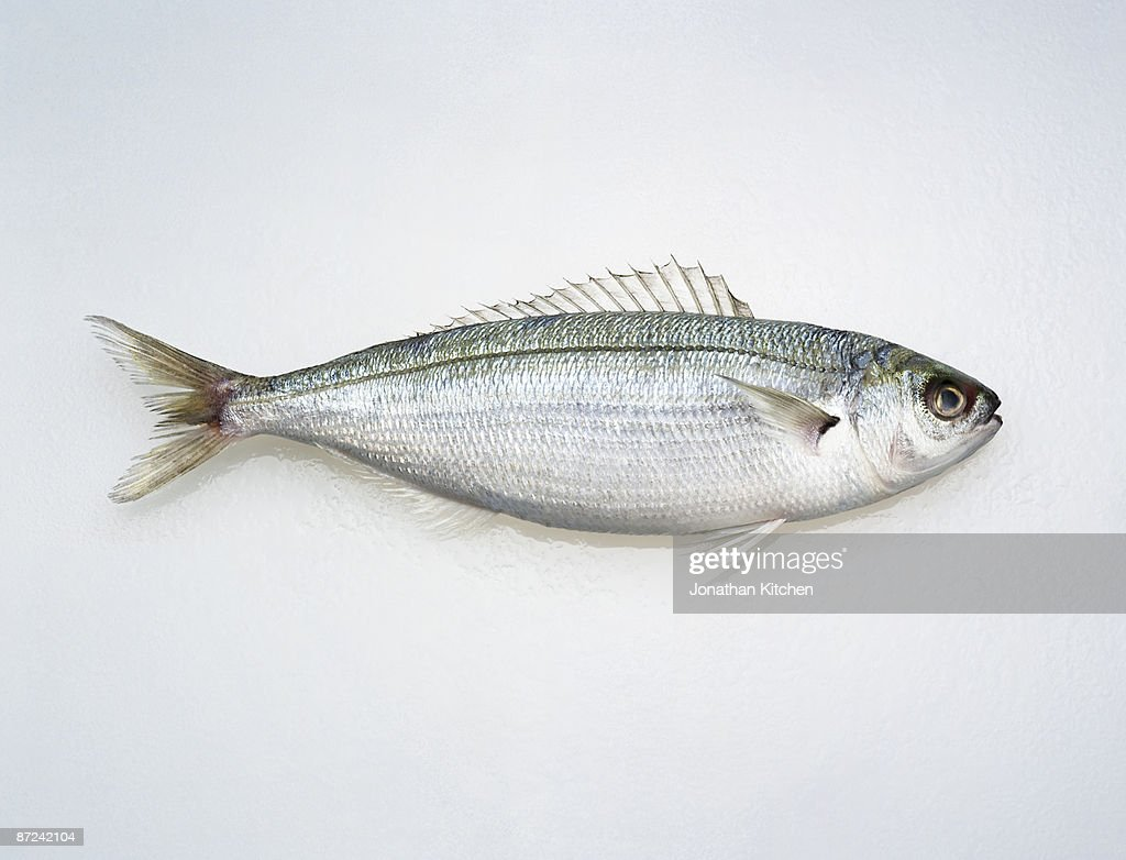 Hoopla Snapper Fish on white : Stock Photo