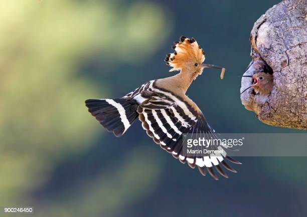 hoopoe (upupa epops), adult with prey, approaching nesting site with baby, saxony-anhalt, germany - saxony anhalt stock pictures, royalty-free photos & images