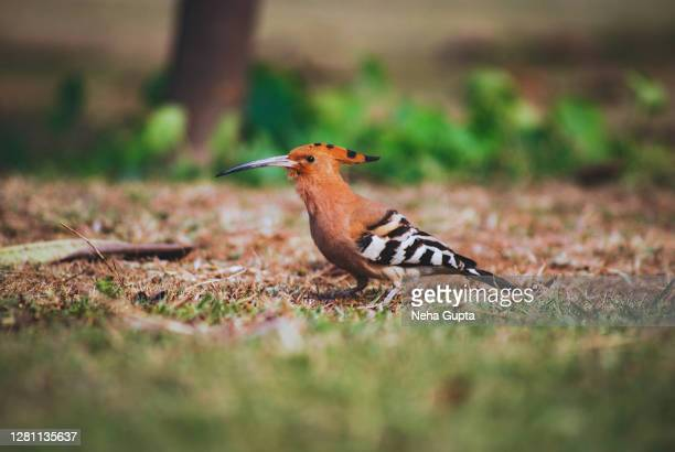 hoopoe bird - strolling & searching for food in the grass - wildlife reserve stock pictures, royalty-free photos & images
