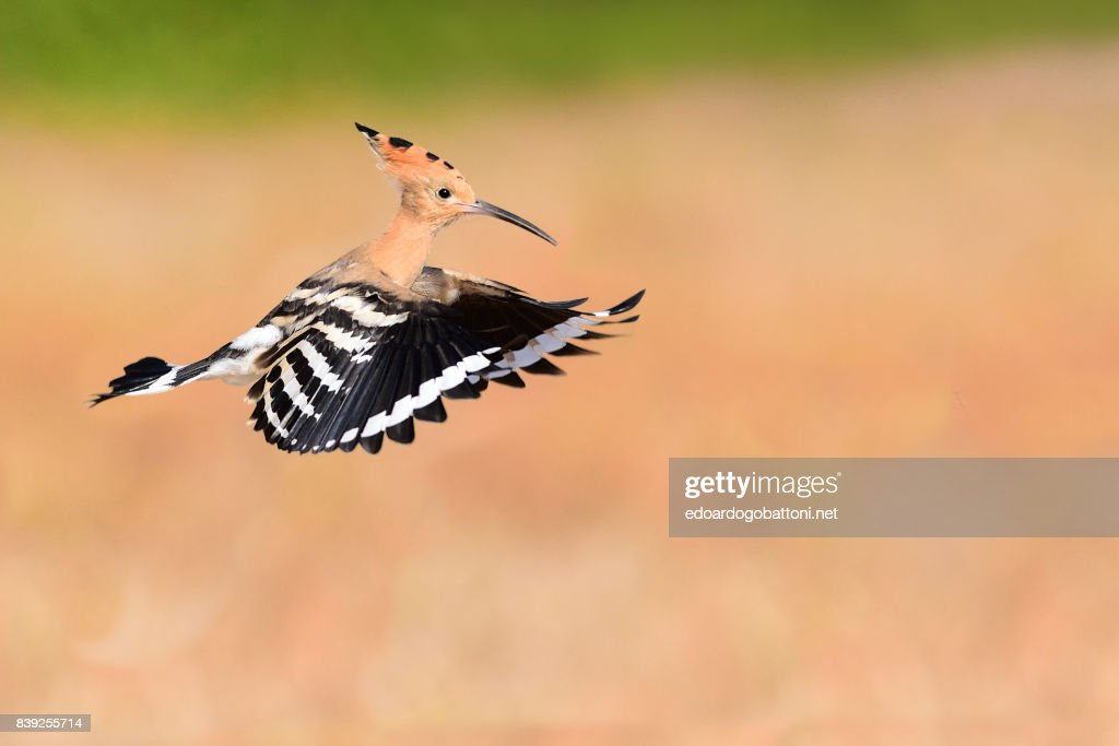 Hoopoe in Flight 1 : Foto stock