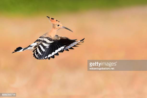 Hoopoe in Flight 1