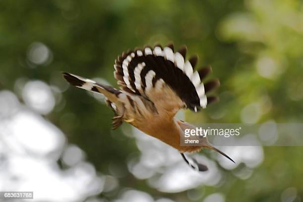 Hoopoe in Flight