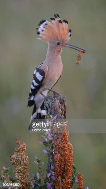 hoopoe (upupa epops) on perch with prey, mole cricket (gryllotalpa gryllotalpa), kiskunsag national park, hungary - mole cricket stock pictures, royalty-free photos & images