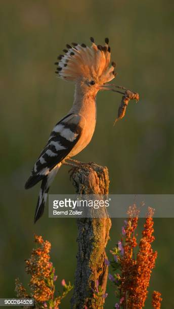 hoopoe (upupa epops) on perch with prey, mole cricket (gryllotalpa gryllotalpa), morning light kiskunsag national park, hungary - mole cricket stock pictures, royalty-free photos & images