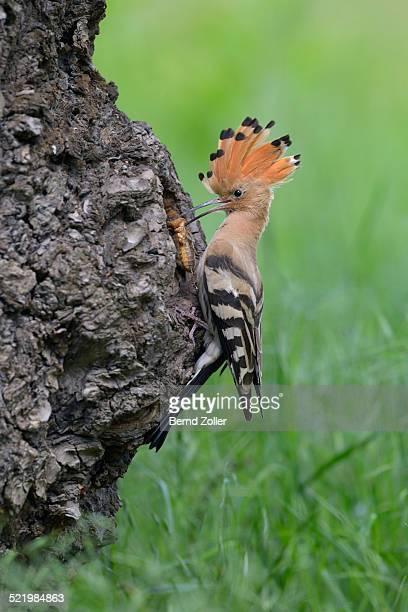 hoopoe -upupa epops-, adult with prey, european mole cricket -gryllotalpa gryllotalpa- at its nest cavity, kiskunsag national park, hungary - mole cricket stock pictures, royalty-free photos & images