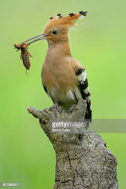hoopoe -upupa epops-, adult with prey, european mole cricket -gryllotalpa gryllotalpa-, on its perch, kiskunsag national park, hungary - mole cricket stock pictures, royalty-free photos & images