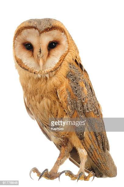 hoot is what a barn owl says  - barn owl stock pictures, royalty-free photos & images