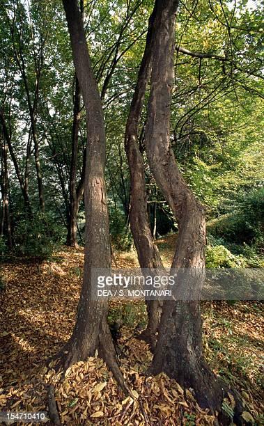 Hop Hornbeam trunks Betulaceae Carne Nature Park Brisighella Italy