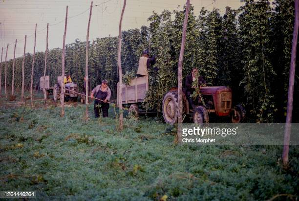 Hop pickers working from tractors amongst rows of hops on a farm near Cranbrook in Kent, United Kingdom, September 1970.