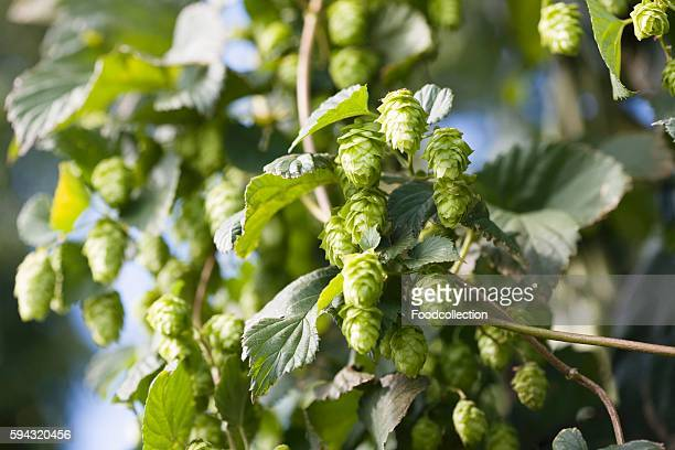 Hop plant with buds (Humulus lupos)