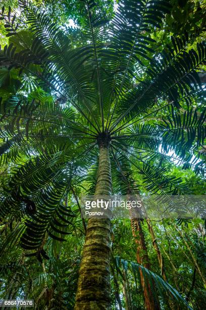 Hope's Cycad at Daintree rainforest