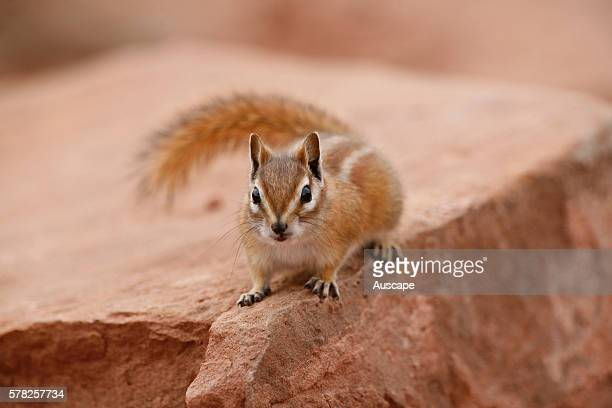 Hopi chipmunk Neotamias rufus in the cliffs and canyons of its habitat Dead Horse Point State Park Utah USA
